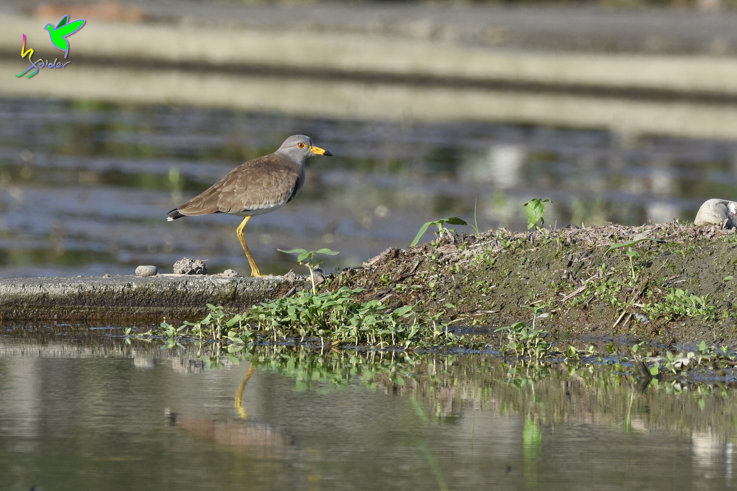 Grey-headed_Lapwing_0132