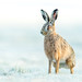 ... Hare I come ... by Grandpops Woodlice