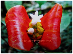 Red bracts of Psychotria elata (Hooker's Lips, Hot Lips Plants, Hot Lips, Mick Jagger's Lips), March 12 2018