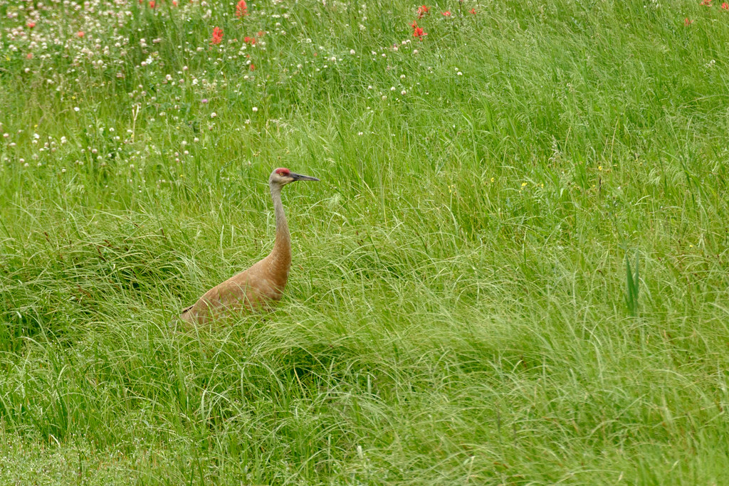 A lesser sandhill crane stands in a meadow near the Beaver Ponds Loop Trail in Yellowstone National Park