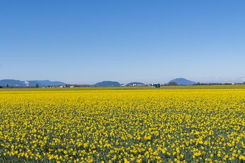 Skagit Daffodils-36