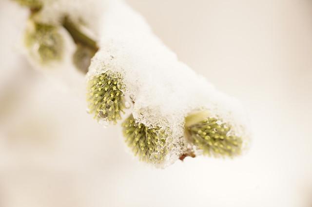 Châton de Saule Marsault sous la neige