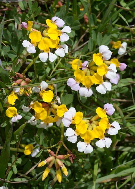 Lotus formosissimus, Sonoma Co., CA