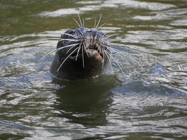 Seehund, Dierenrijk Mierlo