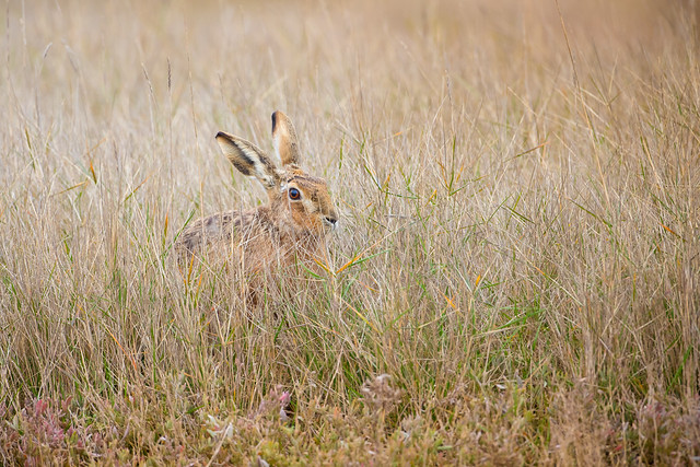 Brown Hare in Water, Canon EOS 5D MARK IV, Canon EF 500mm f/4L IS