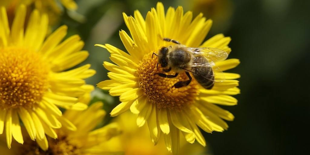 Les abeilles aiment les pelouses des propriétaires paresseux