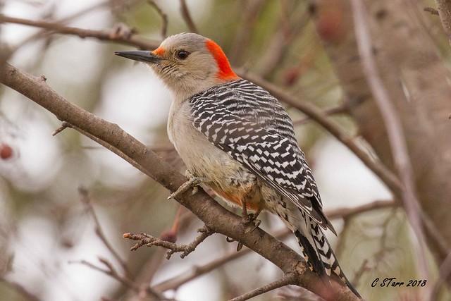 IMG_0278 'red headed', red bellied woodpecker