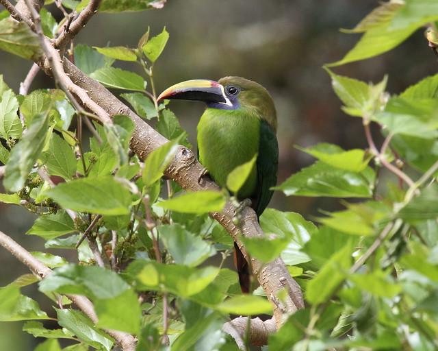 Toucanet à gorge bleue /Blue-throated Toucanet / Aulacorhynchus caeruleogularis