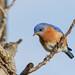 Eastern Bluebird (Male) by Roger Hickey