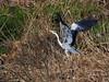 Photo:Grey heron (アオサギ) By Greg Peterson in Japan