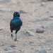 Cape Glossy Starling by dunderdan77