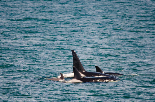 Whale Watching with Island Adventures-112