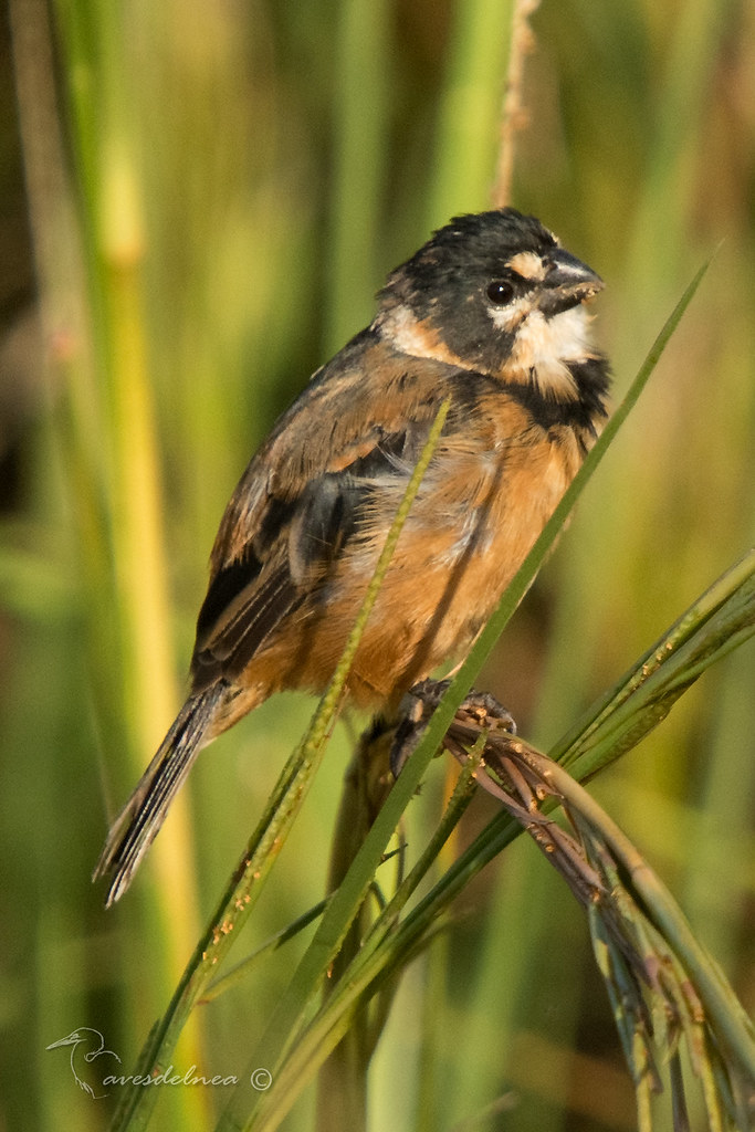 Corbatita dominó (Rusty-collared Seedeater) Sporophila collaris