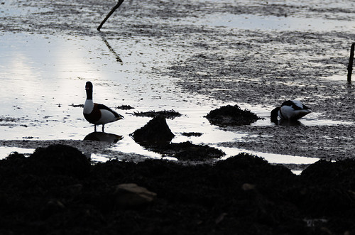 Shelduck in a muddy puddle