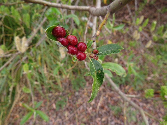 Willow Apple Leaf Gall, Pontania californica