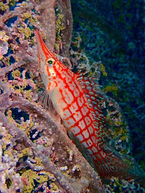 Longnose hawfish