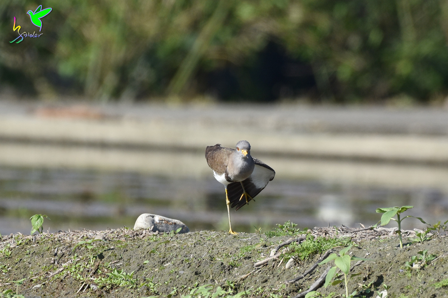 Grey-headed_Lapwing_0776