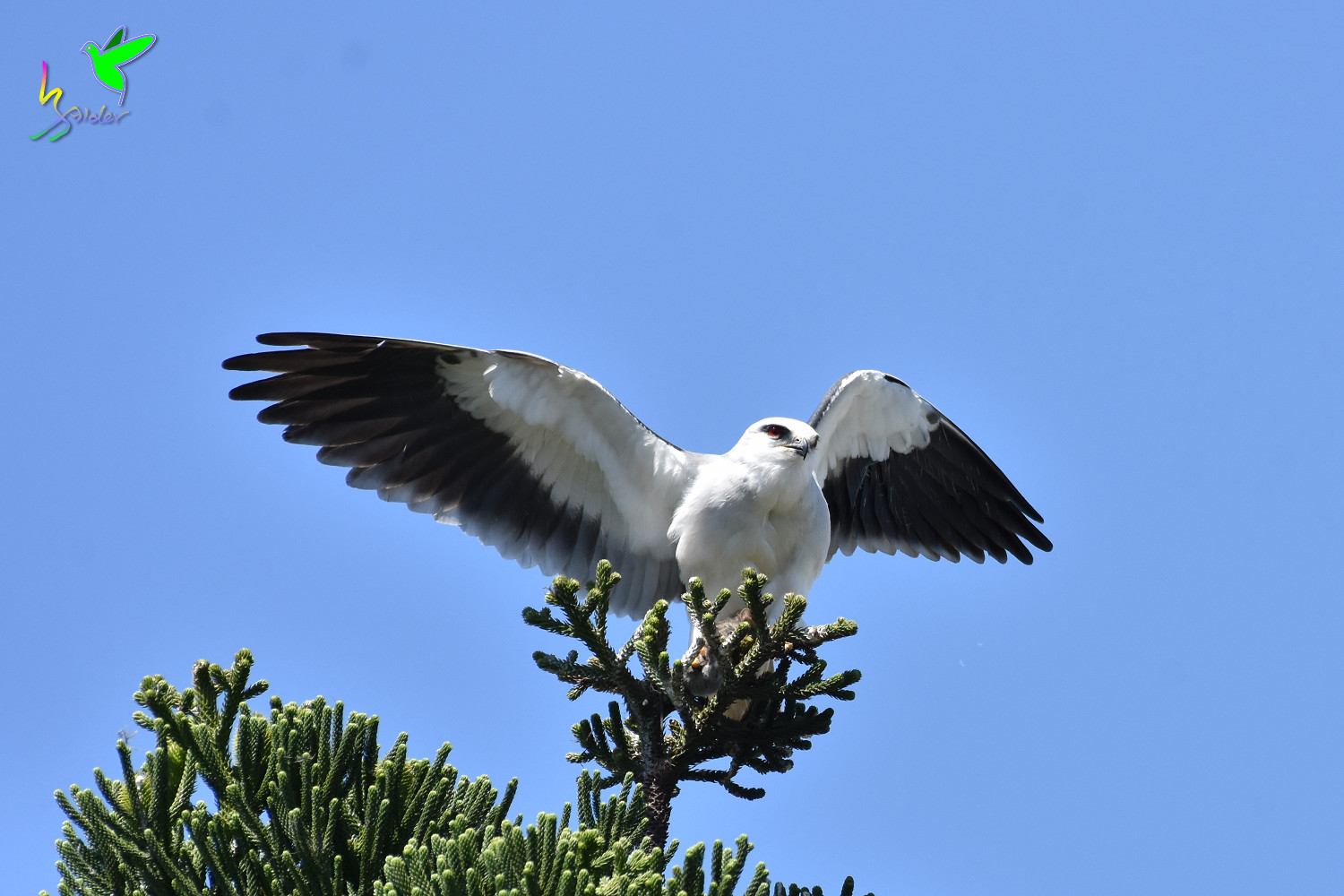Black-winged_Kite_2049