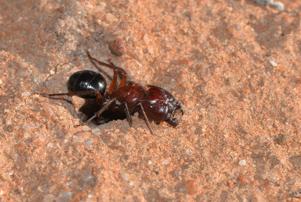 Big head ant