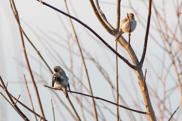 Arctic Redpoll & Common Redpoll