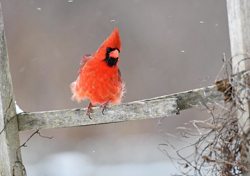 Male Cardinal- cold snowy windy morning