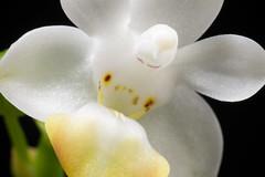 [Myanmar] Phalaenopsis lobbii (Rchb.f.) H.R.Sweet, Gen. Phalaenopsis: 53 (1980)
