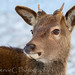 Red Deer Calf by StevieC - Photography