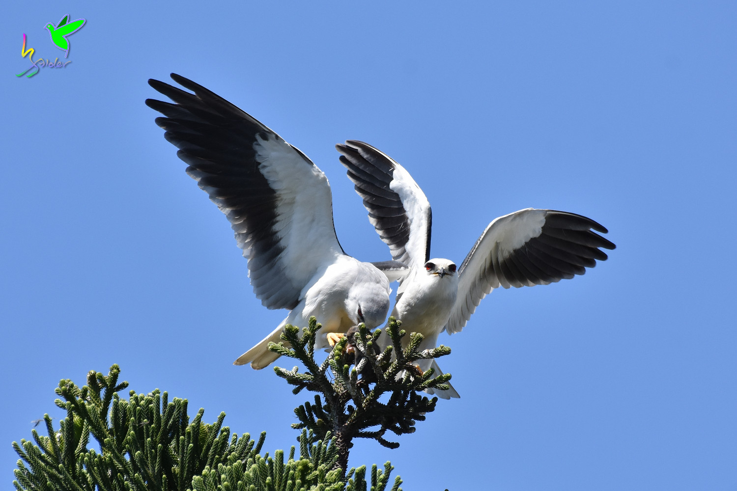 Black-winged_Kite_1930