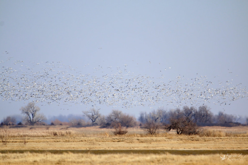 IMG_1639SnowGeese