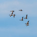 Canada Geese (1 of 1)