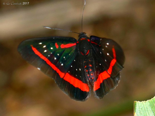 Amarynthis meneria in flight