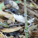 Small photo of Bicolored Antbird