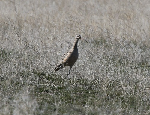 personalfirstofyear kevinlucas longbilledcurlew spring grass yakimacountywashingtonus numeniusamericanus