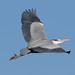 In flight The Grey Heron
