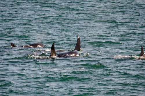 Whale Watching with Island Adventures-126