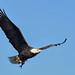 Bald Eagle with a catch by adbecks