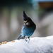 Snowy Day Steller's Jay by dan in real life