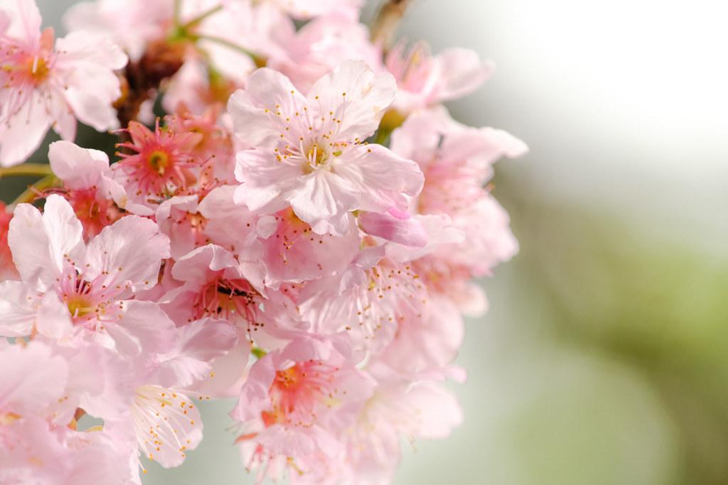 ピンク色の桜