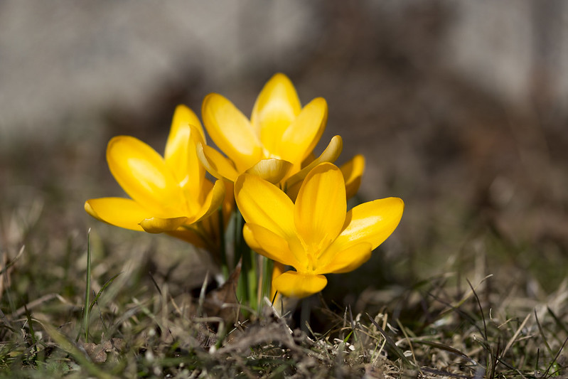 What's The Plural Of Crocus?
