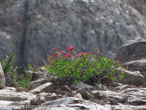 Mountain Pride Flowers en route to Duck Pass in Inyo National Forest, California