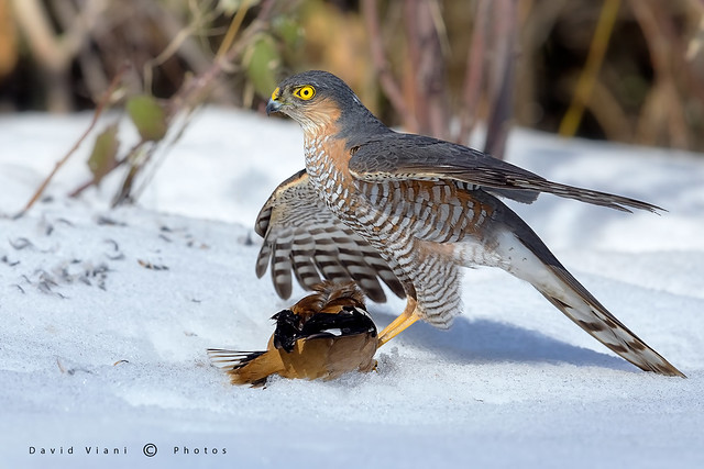 Sparviere maschio - Accipiter, Canon EOS 5D MARK IV, Canon EF 600mm f/4.0L IS II USM