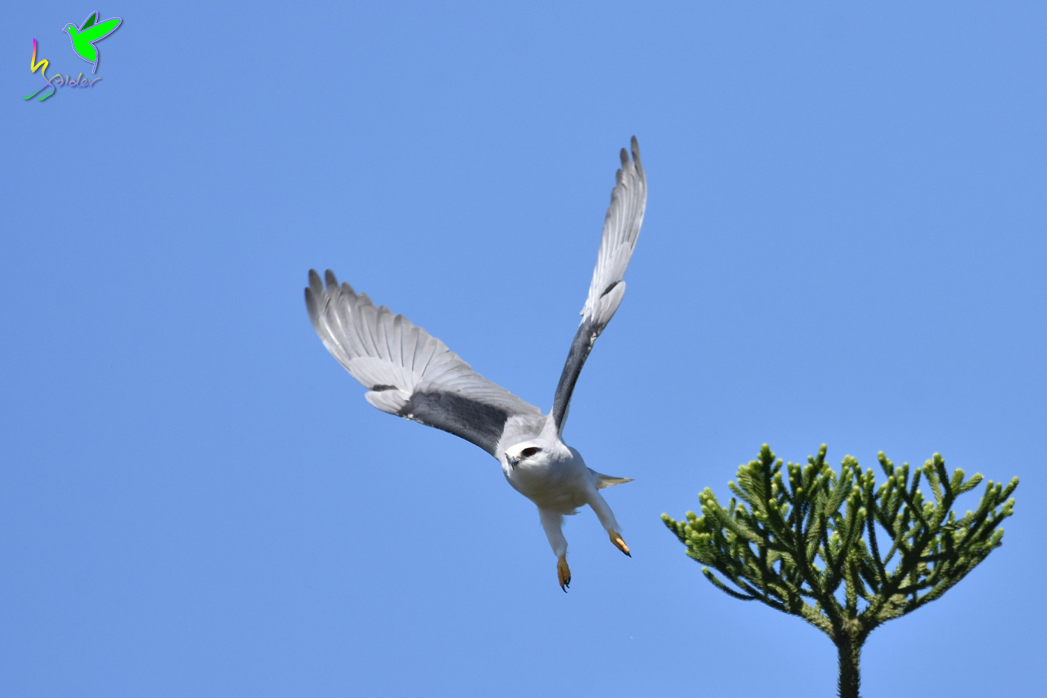 Black-winged_Kite_2343
