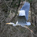 Grey Heron at Chedworth Farm, Horsham