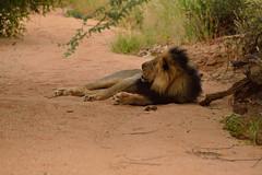 Lion at Erindi