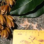 Toona ciliata capsules and seeds