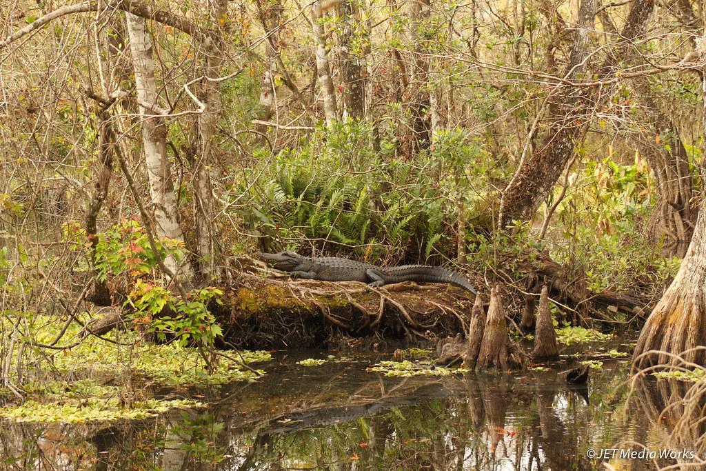 Island Gator