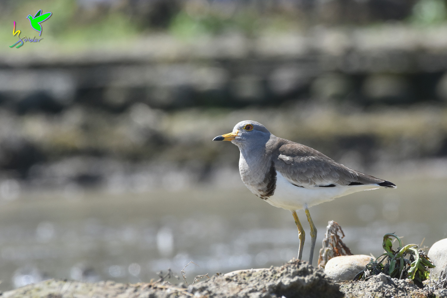 Grey-headed_Lapwing_1621