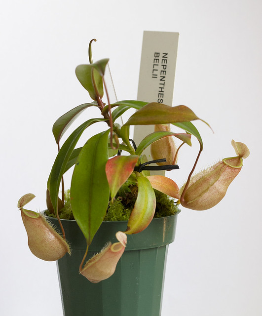 Nepenthes bellii BE