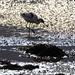 Avocet feeding in Exe estuary mud
