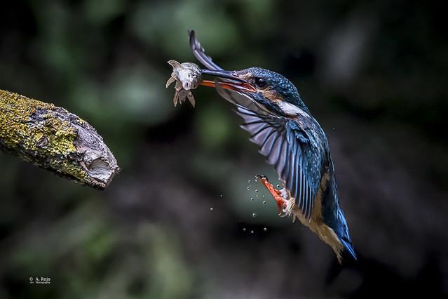 Martín Pescador /  Kingfisher